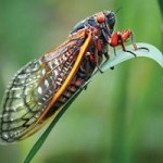 Why Are Cicadas So Loud?