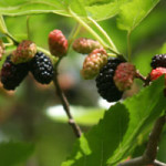 Make the Most of Mulberry Season!
