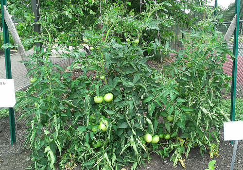 tomatoes on trellis 2