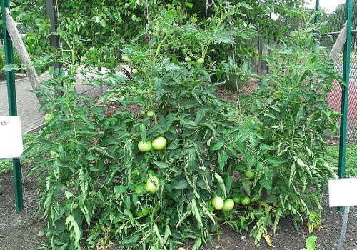 tomatoes on trellis 2