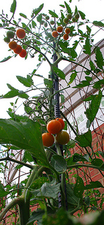 Tomatoes on a pole