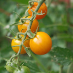 Three Ways to Grow Tomatoes in Vertical Spaces